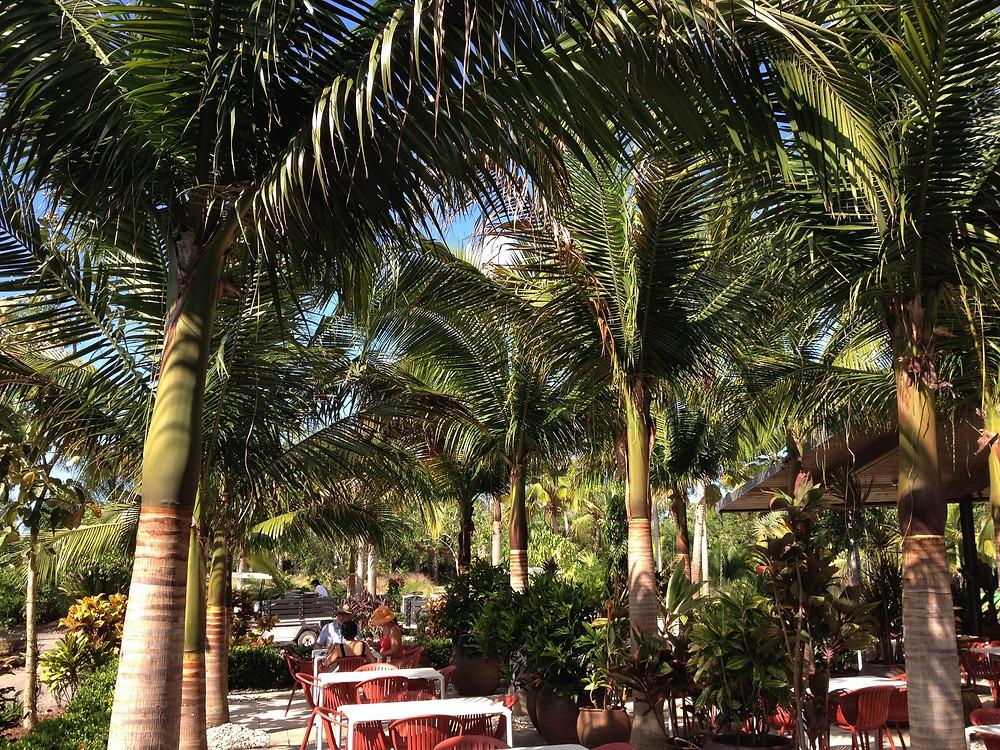 Satakentia liukiuensis is a pinnate palm