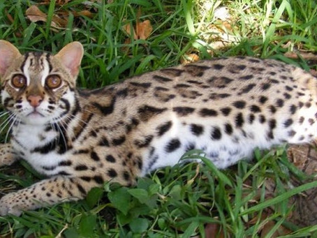 F1 kočka bengálská
