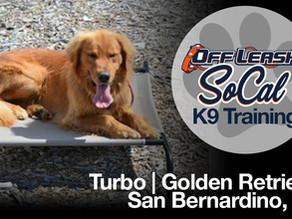Turbo   Golden Retriever   San Bernardino, CA