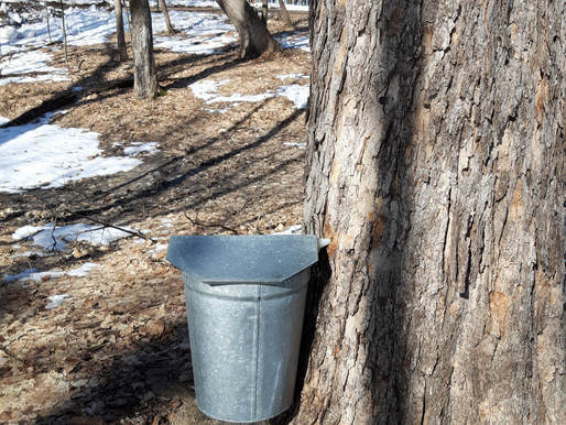 From Tree Sap to Syrup: Learn How to Tap Your Maple Trees with Don Hansen