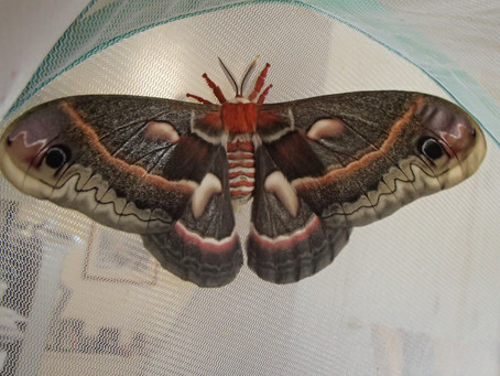 Flying Flashy with Massive Moths