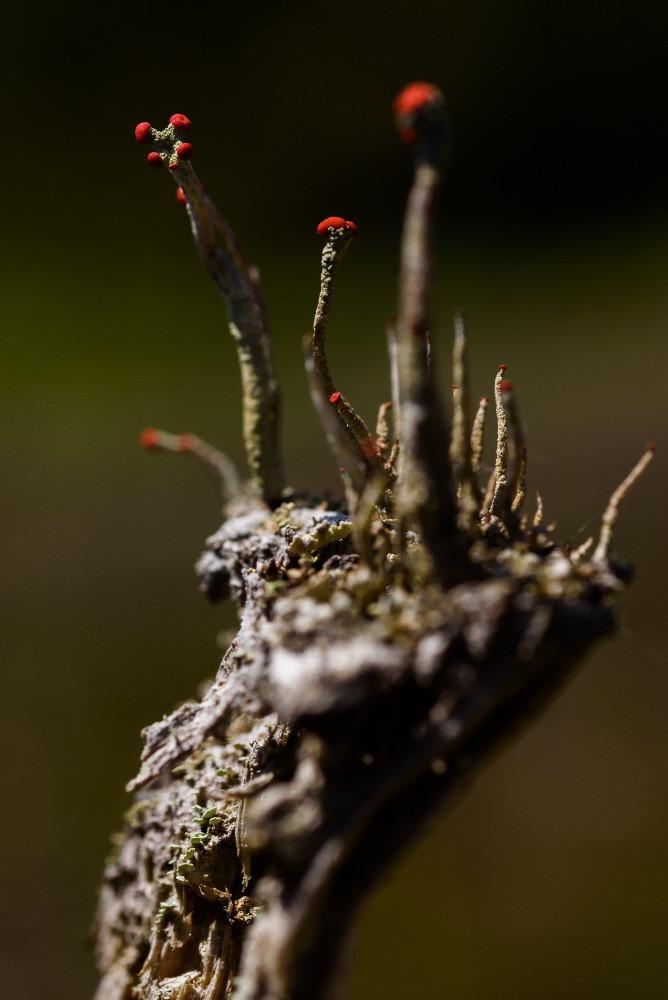 朽木に生えた小さな菌類 / Tiny fungi on weathered pile