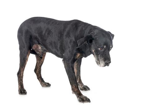 Bandscheibenvorfall beim Hund