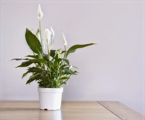 peace lily best home office plant