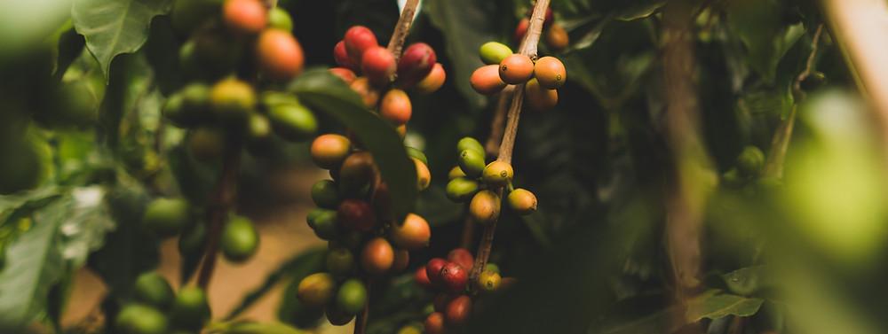 owoce kawowca na krzewie