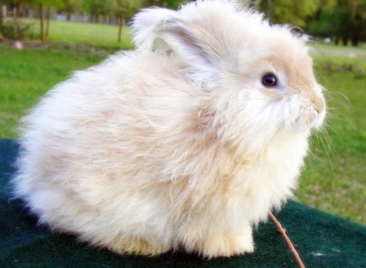 angora, rabbit, wool