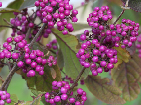 Plant of the Month: Callicarpa