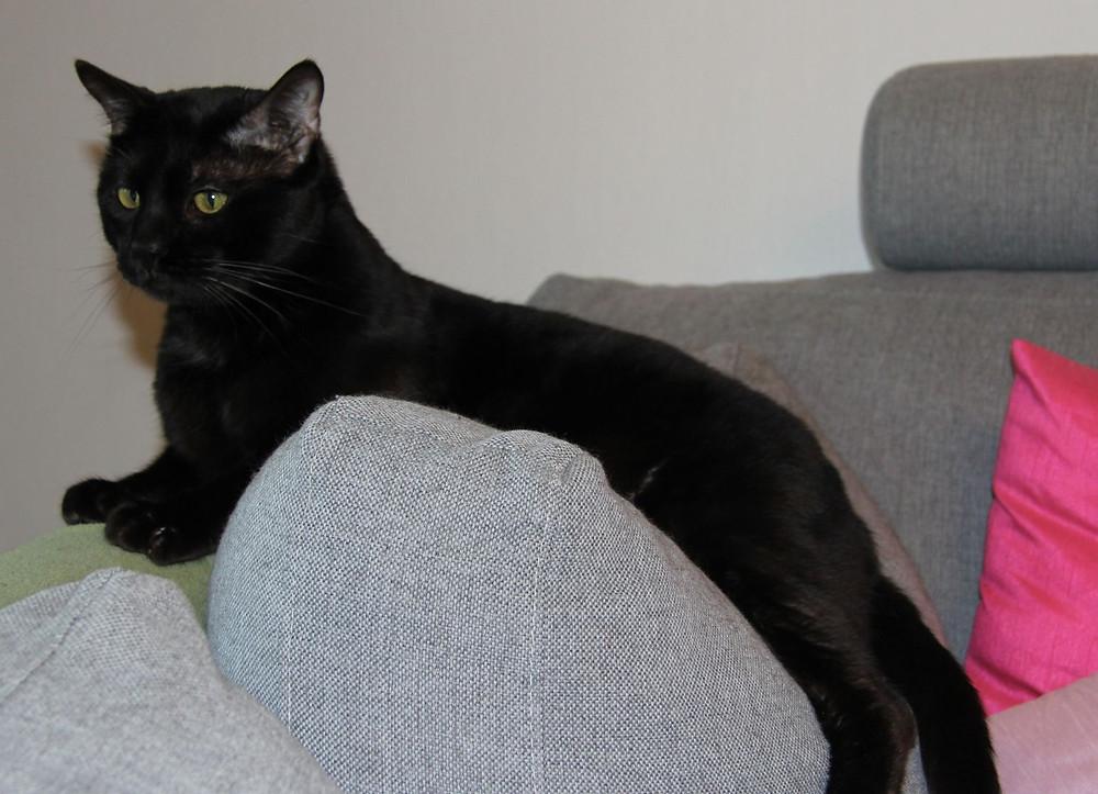 melanistic black bengal cat