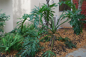 Tropical ferns in a flowerbed area between a building and a sidewalk.