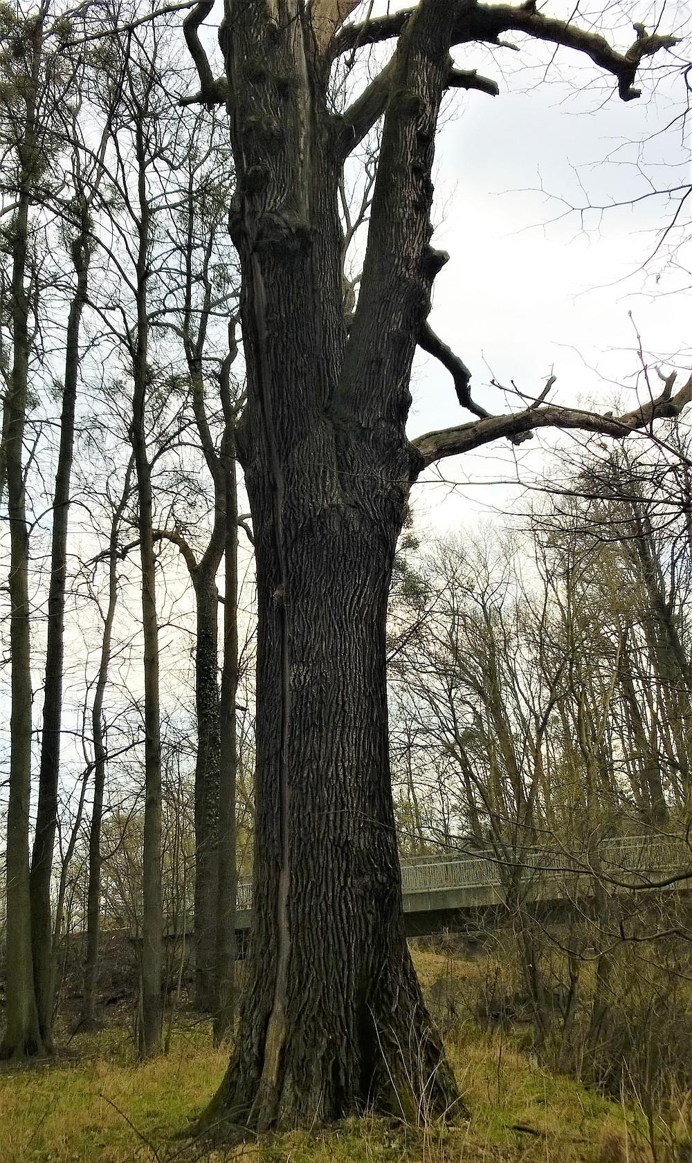 Novozámecký dub