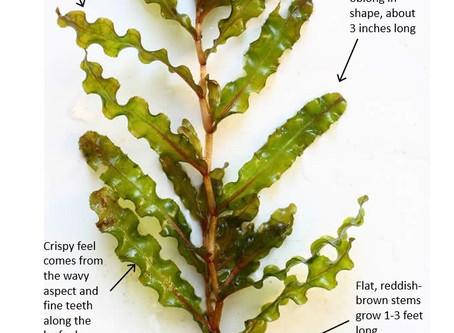 Curly Leaf Pondweed - Exotic