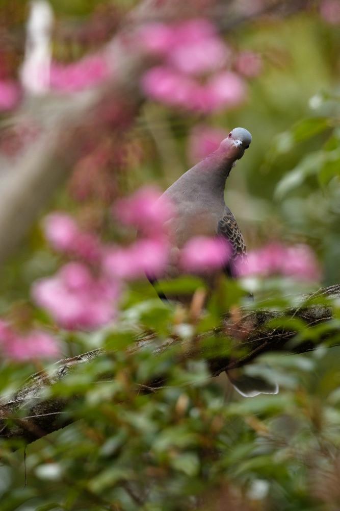 キジバト / Oriental turtle dove