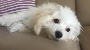 【卒業犬 ミミ】トレーニングの楽しさを知る♪(埼玉県川口市)