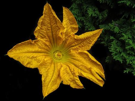 Ayoxochitl (flor de calabaza), una de las quelites más famosas de México.