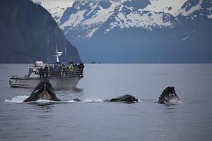 Whales feeding near a tourist ship in Kenai, Alaska