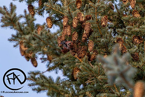 White-winged Crossbill males