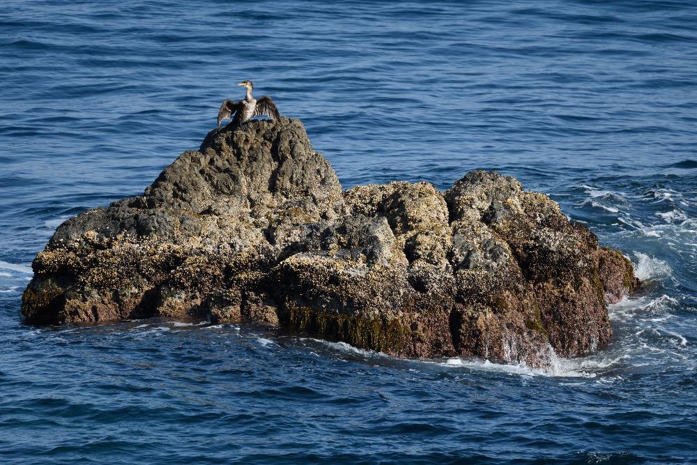 岩礁で日光浴をするウミウ / A Japanese cormorant sunbathing on the reef