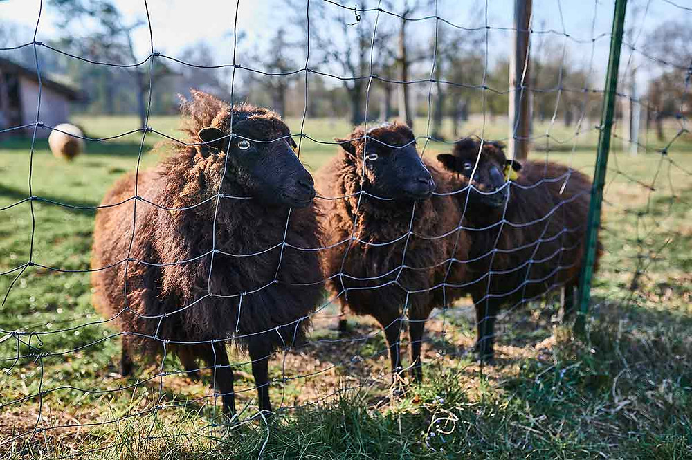 Utting am Ammersee bei München Schafe Familienausflug