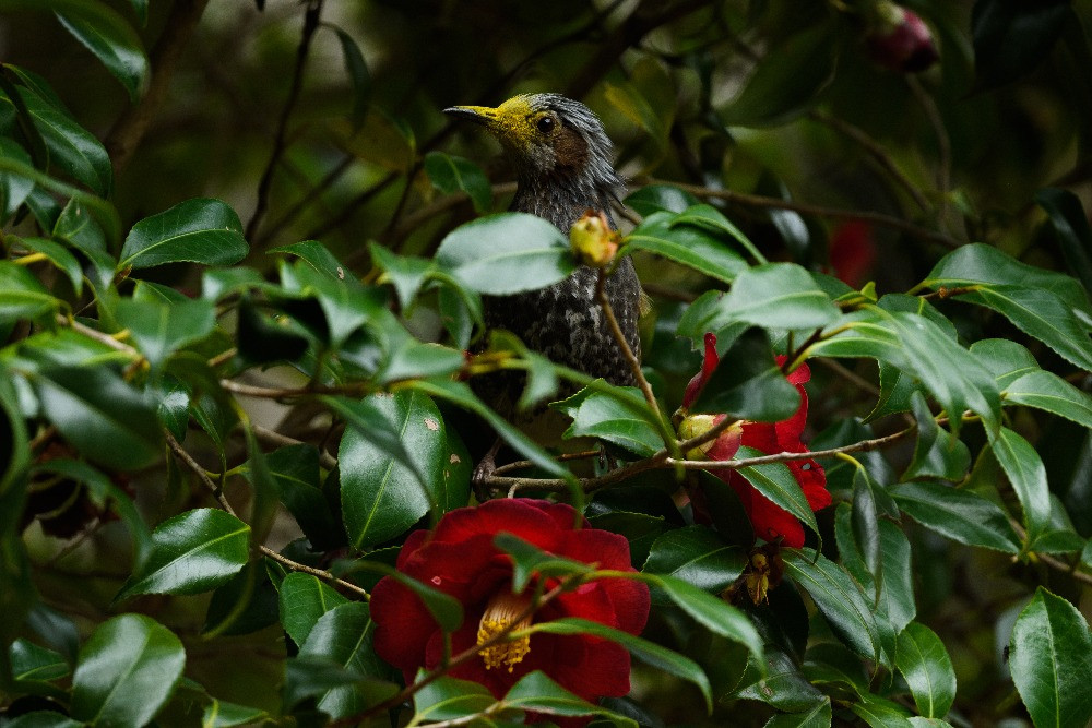 花粉で顔が黄色いヒヨドリ / A brown-eared bulbul with yellow face covered with pollen