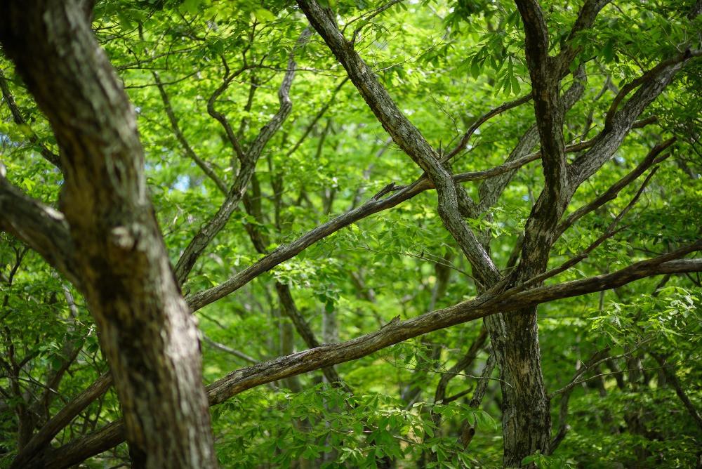 ミズナラの森 / Forest of Japanese oaks