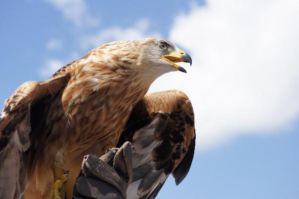Biomimétisme espèces d'aigle