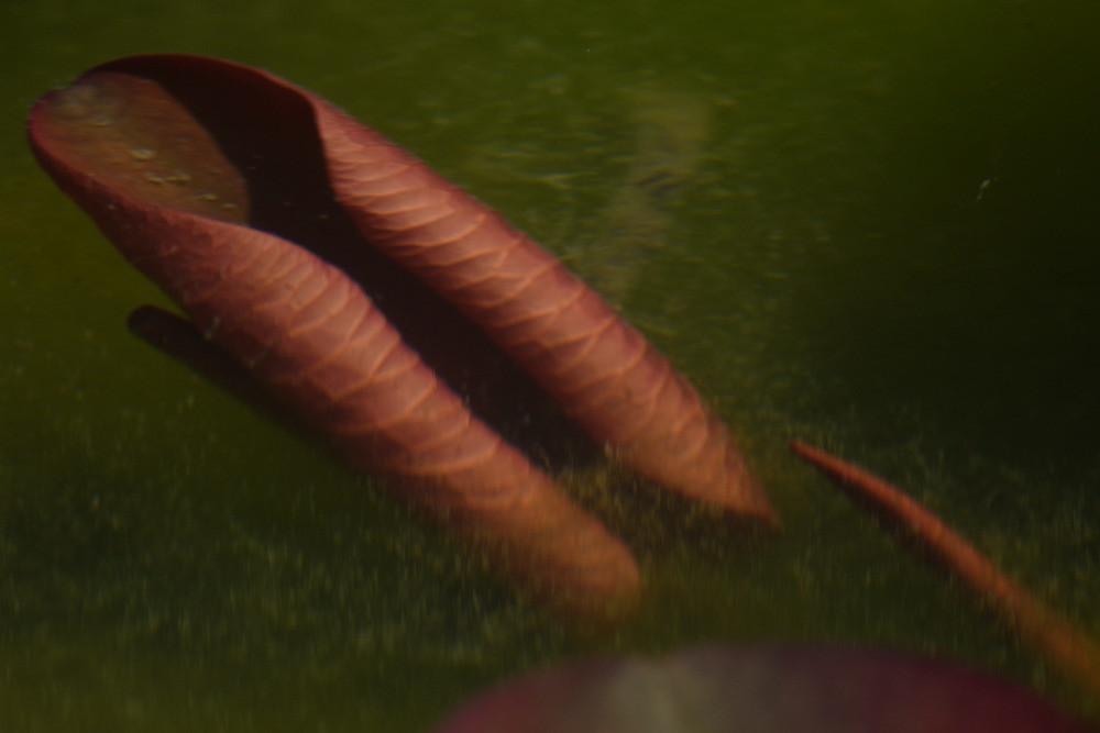 水中のハスの葉 / A lotus leaf under water