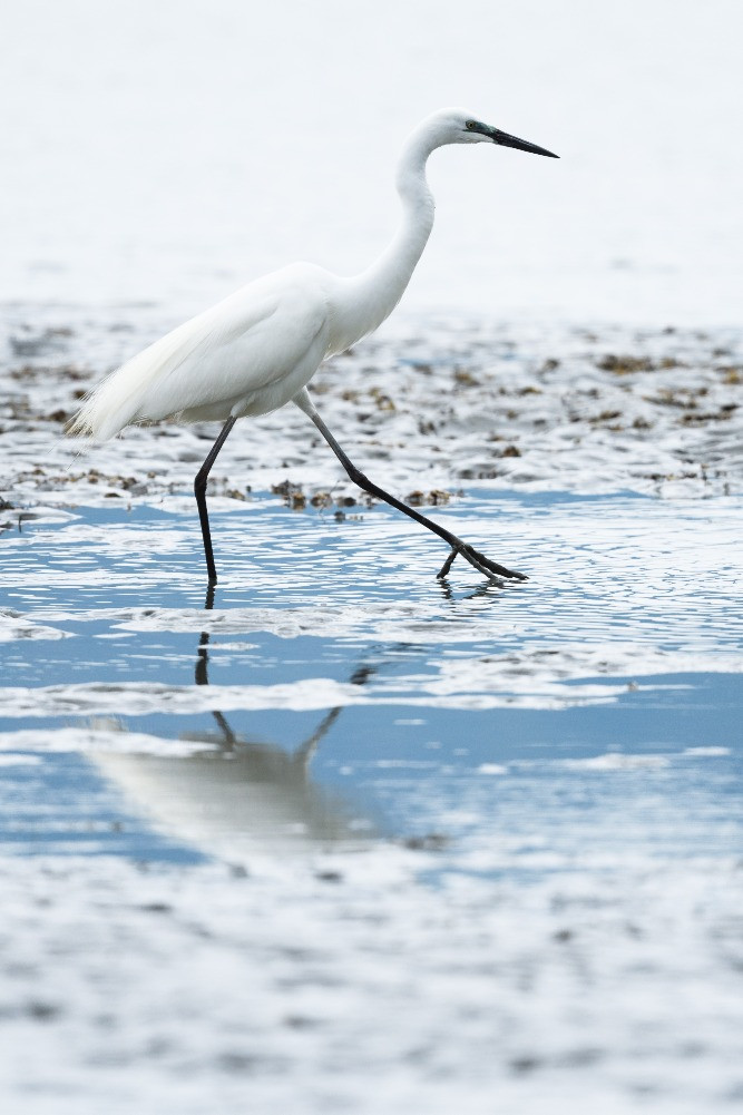 干潟のチュウダイサギ / Great egret (a. a. modesta) at tidal flats