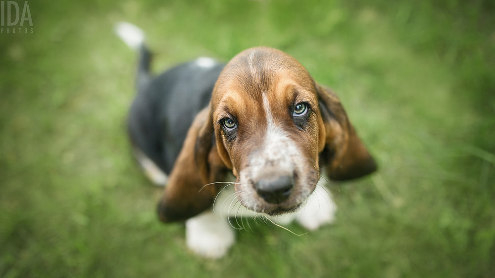 Basset hound pentu, koiravalokuvaus