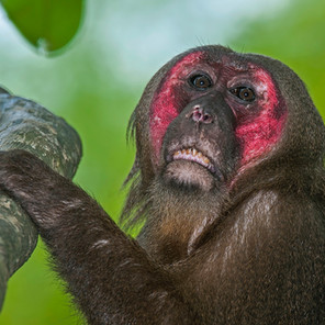Primate Conservation Challenges and Prospects in Northeast India