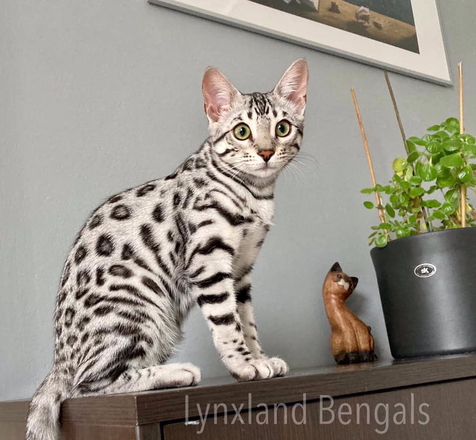 silver bengal cat kitten