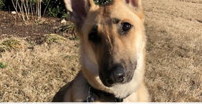 Freedom German Shepherd Rescue helps give dogs their freedom back!