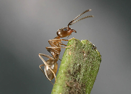 Argentine Ants: the unassuming pest in Aotearoa