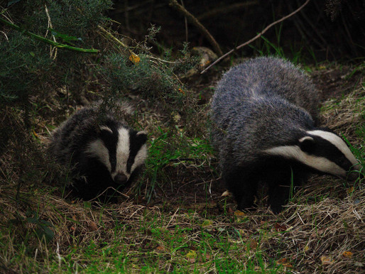 19,274 badgers killed in 2017 culls...