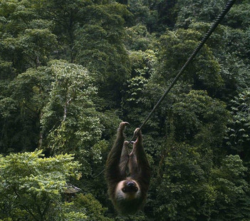 Ziplining Sloth
