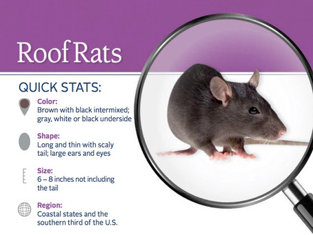 How do you know if you have a roof rat activity?!