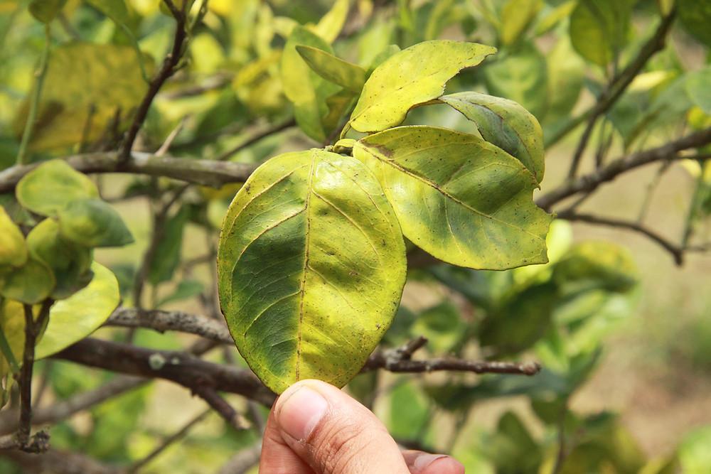 Citrus greening, Huanglongbing, soil biology