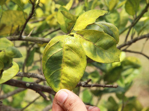 Huanglongbing is just a bacterial infection. It shouldn't be destroying the world's citrus.