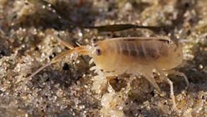 Éviter ou traiter les désagréments des morsures des puces de sable - Question d'allergie avant tout