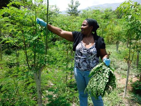 The Drumstick Tree: Moringa