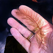 native milfoil(2).jpg