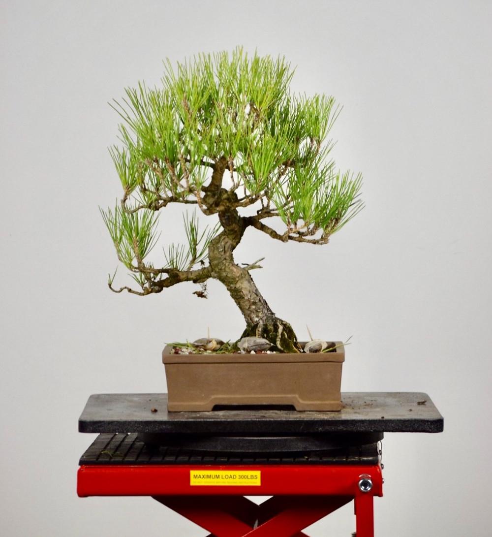 Japanese Black Pine against a white wall
