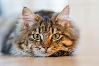 erva dos gato para que serve?