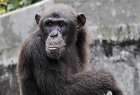 Les grands singes également menacés par le coronavirus