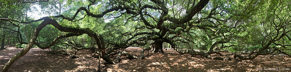 The Massive Angel Oak Tree, Johns Island SC