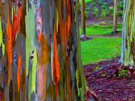 Les eucalyptus Arc en Ciel Deglupta