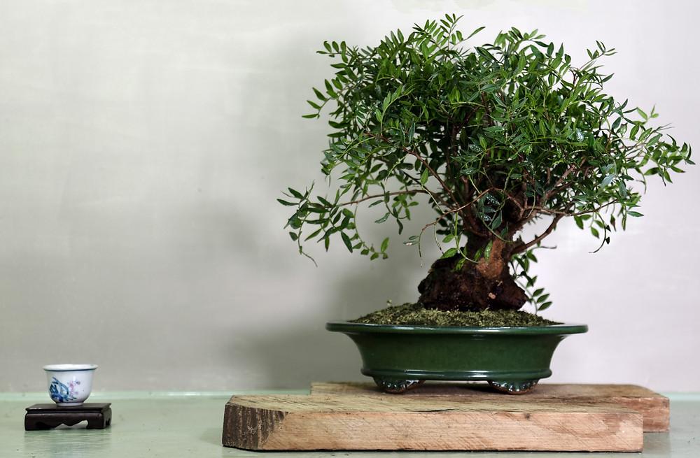 Pistachio, Pistacia lentiscus, Bonsai