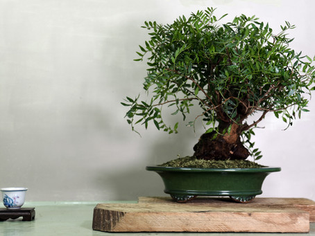 Evergreen Pistachio
