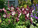 Aquilegia 'Magpie seedling'