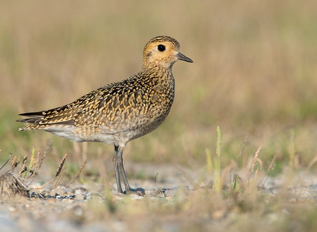 Help to find European Golden Plovers