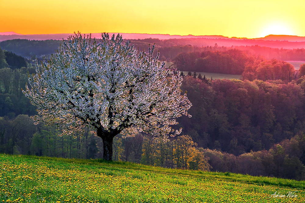 Kirschbaum bei Wenslingen im Baselbiet